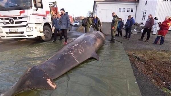 أكياس بلاستيكية تقتل حوتًا في النرويج