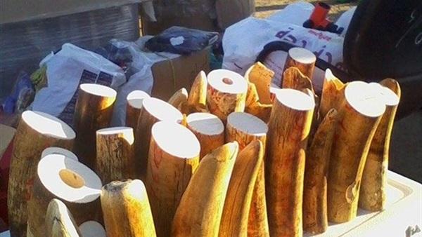 الصين تواصل جهودها لمحاربة ذبح أفيال أفريقيا وتجارة العاج