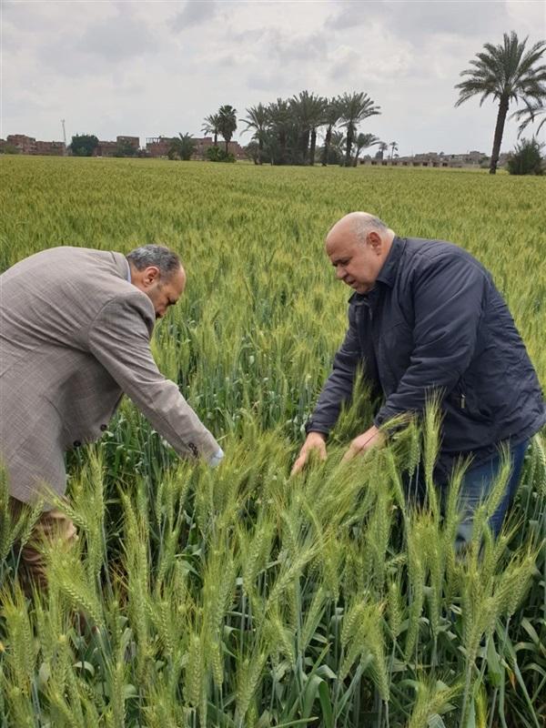 بالصور.. الزراعة تطمئن على محصول القمح بعد موجة الطقس السيئ