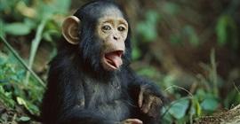 بالفيديو.. شمبانزي يبهر الجميع بما فعله