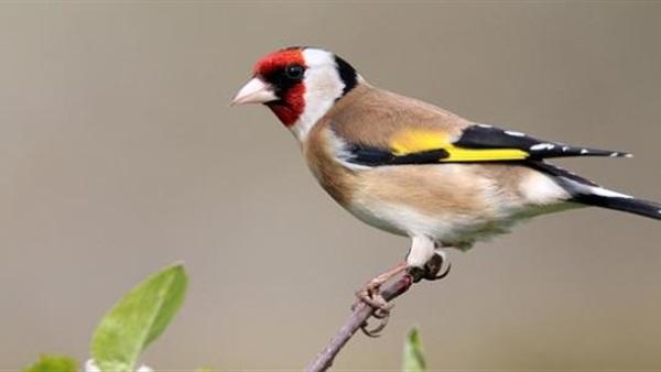 البوابة نيوز تعرف على أجمل أنواع للطيور المنزلية المختلفة
