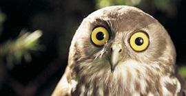 تعرف على أبرز المعلومات عن طائر البومة