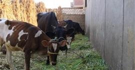تحصين 68 ألفا و911 رأس ماشية ضد الحمي القلاعية والوادي المتصدع بالبحيرة